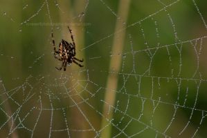 How Spiders Drink II by LoneWolfPhotography