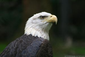 Bald Eagle IV by remadance