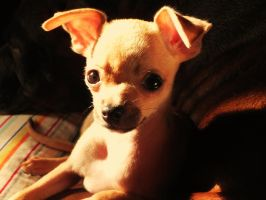 Young Chihuahua by sentry-sight