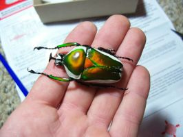 Beautiful Large Scarab by Skeletox
