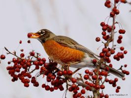 Robin with a berry breakfast by natureguy