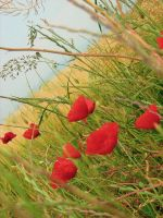 Cold morning and poppies by amma-lirio