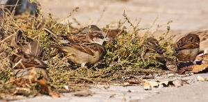 Male House Sparrow by ValdesBG