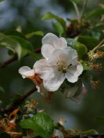Apple Blossom 19 by botanystock