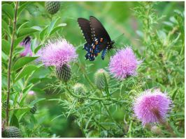 Butterfly and Swamp Thistles by CrystalMarineGallery