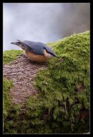 Noel the Nuthatch by MessiahKhan