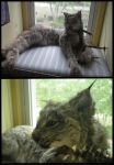 SOLD - Lynx Soft Mount by TabbyFoxTaxidermy
