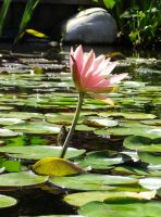 water lilly by XIceFireX998