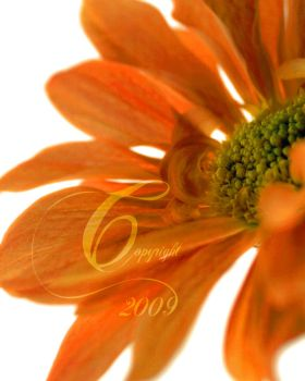 Orange Daisy by TheIcePixy