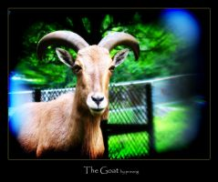 The Goat by pueang