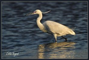 Little Egret by Jamie-MacArthur