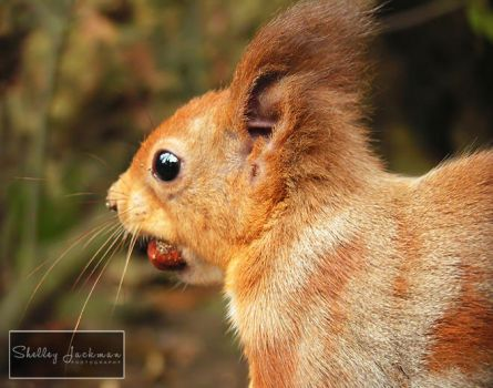 Red Squirrel by ShelleyJackman