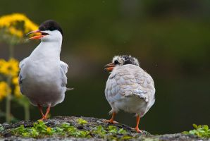 Common Tern by komedian