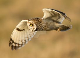 It has been a long day - Short-earede owl by Jamie-MacArthur