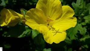 G5s Magnifier Flower 2 in Yellow  by The-Dude-L-Bug