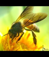 Honey Bee... by nimitnigam