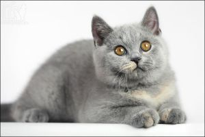 British shorthair by ankaszklanka