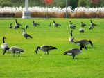 Just another day for the geese by JayLPhotography