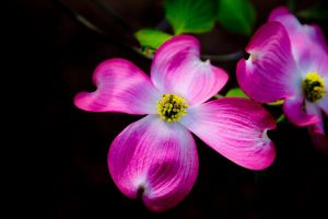 Dogwood by A-Glass-Brightly