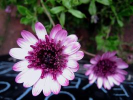 Two Purply Pink Flowers by Sing-Down-The-Moon