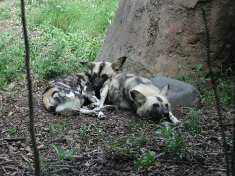 Brookfield African Wild Dogs by CanisCamera