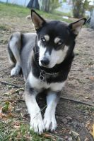 Siberian Husky Stock 006 by EssenceOfPerception