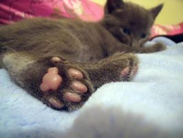 polydactyl Kitten Feet by ainagami