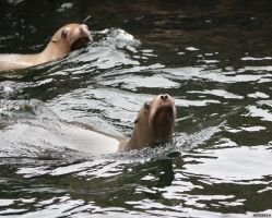 Sealions 2 by Globaludodesign