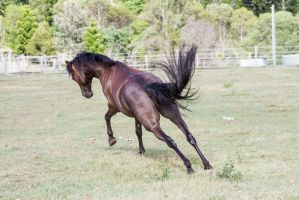 Dn Black pony launchig off view behind by Chunga-Stock