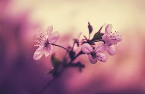 blossoming cherry by hitforsa