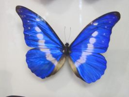 bluey butterfly :3 by KANUTA