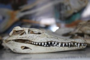 Baby Crocodile Skull by Monopolymurder