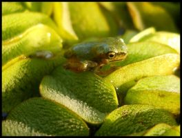 Young Hyla Meridionalis by FuriarossaAndMimma