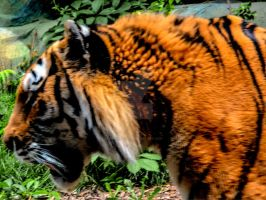 Tiger -HDR- by tripptaylor