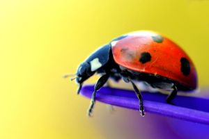 Lady bug II by Svennovitch
