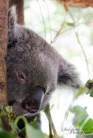 Drop Bear 01 by Indefinitefotography