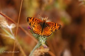 Butterfly Orange wallpaper by kayaksailor