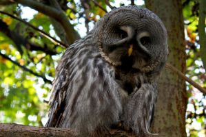 Great grey owl by EuphoricMind