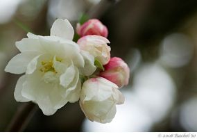 Ruffled Crabapple III by butterfly36rs