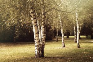 birch walk II by vanerich