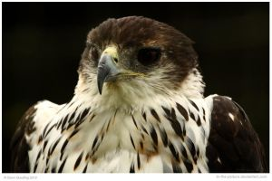 African Hawk Eagle by In-the-picture
