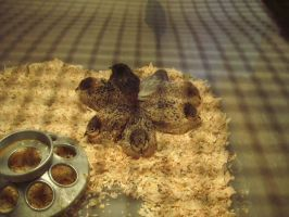 Cute as a Button Quail by Bolynn