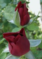 Rose buds by Earthmagic