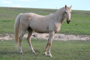 Palomino Stallion 16 by How-You-Remind-Me