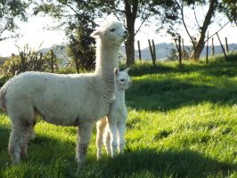 baby Alpaca and mama by cacicarseat