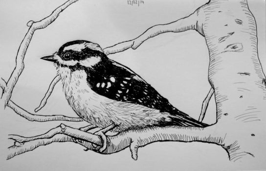 Downy Woodpecker by Cuthillius