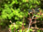 Dragonflies by rocamiadesign