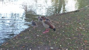 Egyptian Goose and Goslings by Dan-S-T