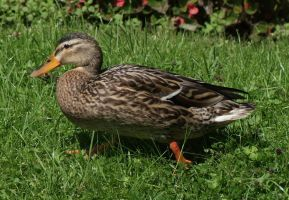 duck. by vw1956stock