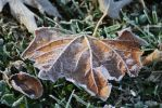Frosted Leaf by exarobibliologist